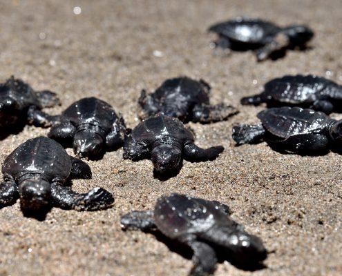 liberación de tortugas golfinas